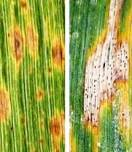 Symptoms of Tan spot (left) and Septoria tritici blotch (right) on wheat leaves