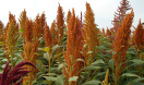 Amaranth Screening